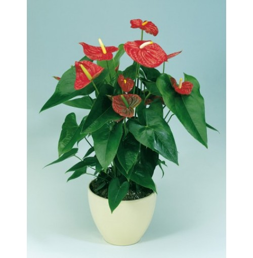 Anthurium Flower(bulbs)